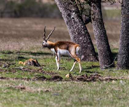 Venado-Springs-Exotics-Whitetail-Deer-Hunting-Hill-Country-Texas-144