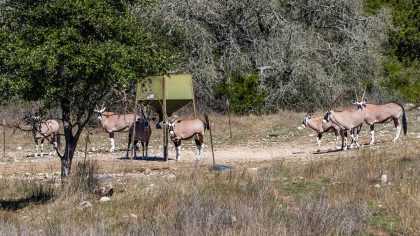 Venado-Springs-Exotics-Whitetail-Deer-Hunting-Hill-Country-Texas-146