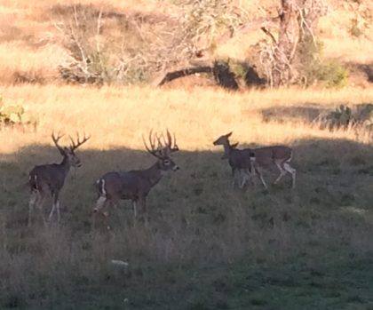 Venado-Springs-Exotics-Whitetail-Deer-Hunting-Hill-Country-Texas-149