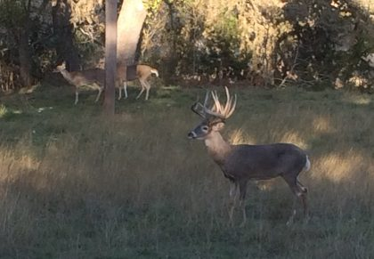 Venado-Springs-Exotics-Whitetail-Deer-Hunting-Hill-Country-Texas-150