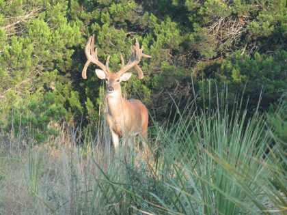 Venado-Springs-Exotics-Whitetail-Deer-Hunting-Hill-Country-Texas-158