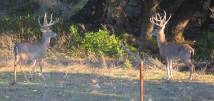 Venado-Springs-Exotics-Whitetail-Deer-Hunting-Hill-Country-Texas-189