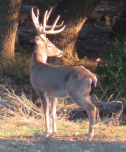 Venado-Springs-Exotics-Whitetail-Deer-Hunting-Hill-Country-Texas-191